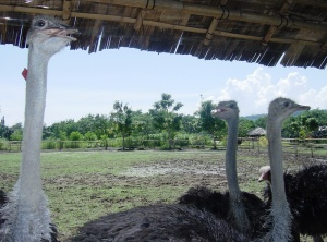 Real: the VERY inquisitive Ostriches at the Crocodile Park
