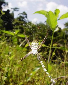 Hunting Spider