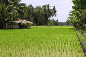 Rice fields in Lupon