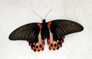 Great Mormon (Papilio sp.) butterfly