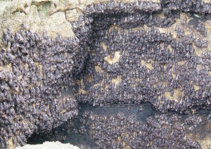 Geoffrey's  Rousette (Rousettus amplexicaudatus) - bats by the million