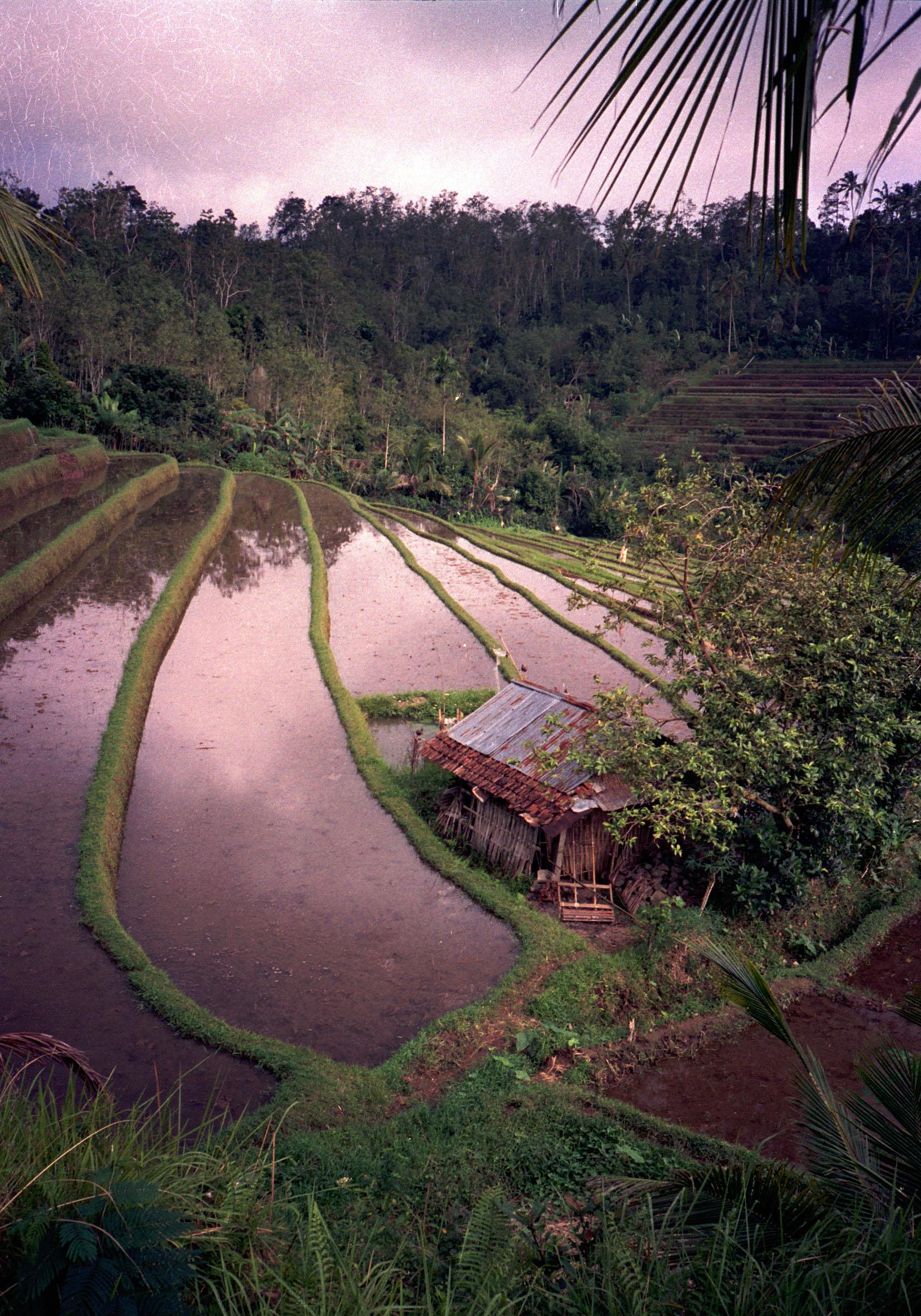 genuine \'bahay kubo\' nestling on Bali\'s rice terraces