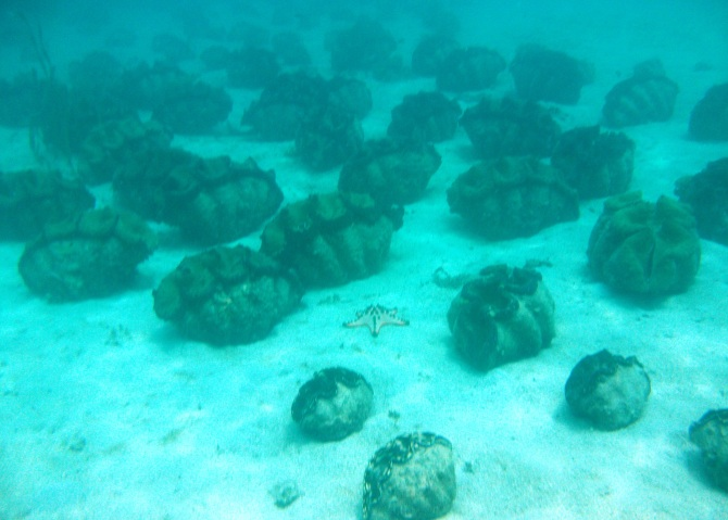 There are already over 3000 Giant Clams in the bay as a result of the conservation programme