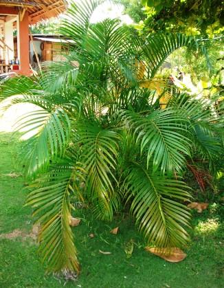 Dwarf palm (Chamaedorea)