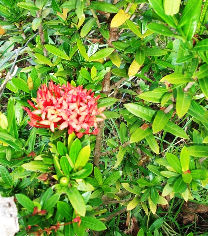 Jungle Flame (Ixora)