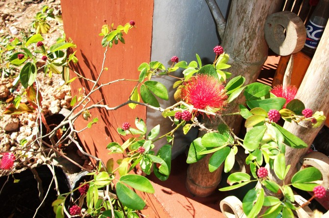 Powderpuff (Calliandra)